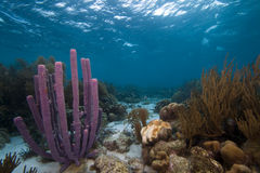 Purple Stove pipe sponges. Underwater Bonaire - coral reef in shallow water with purple stove pipe spone Stock Photos