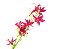 Purple streaked orchid branch Royalty Free Stock Photo