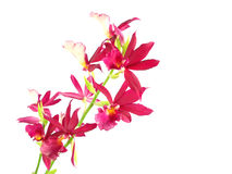 Purple streaked orchid branch Stock Photos