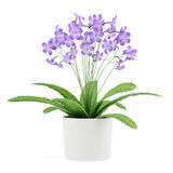 Purple streptocarpus flowers in pot isolated on white Royalty Free Stock Photo