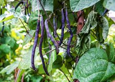 Purple string beans. In the garden stock images