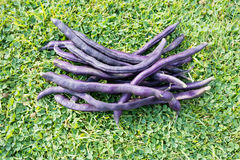 Purple String Beans. Harvested purple string beans on a grass background Royalty Free Stock Image