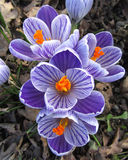 Purple Striped Crocus. The beautiful striped blooms of the spring flowering bulb Crocus sativa Pickwick Royalty Free Stock Photos