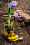 Purple striped Crocus in the shoe Royalty Free Stock Image
