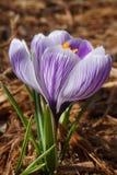 Purple Striped Crocus Royalty Free Stock Photo