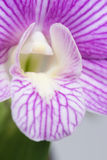 Purple striped Dendrobium orchid extreme close-up Stock Photography