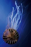 Purple-striped Jelly. (Pelagia colorata), Pacific Ocean Royalty Free Stock Photos