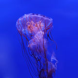 Purple striped jellyfish Stock Photography