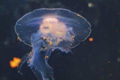 The purple striped jellyfish Chrysaora colorata a view of jellyfish, sea nettle, medusa Medusozoa stock photography