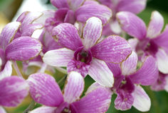 Purple striped orchid Stock Images