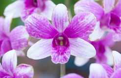 Purple striped orchid Stock Image