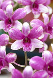 Purple striped orchid Royalty Free Stock Photos