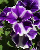 Purple Striped Petunia Stock Images
