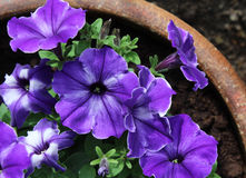 Purple Striped Petunias Royalty Free Stock Photography