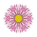 Purple Stripes on Concentric Chrysanthemum Mandala Flower. Purple Stripes on White Concentric Chrysanthemum Flower Isolated on White Background. Kaleidoscopic Stock Image