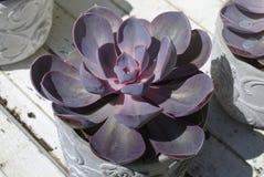 Purple succulen flower stock photo