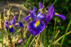 Purple summer flower at the edge of a meadow Royalty Free Stock Images