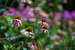 Purple summer flowers. Bokeh background and purple flowers in a hot day Stock Photography