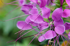Purple summer flowers on a green background royalty free stock photography