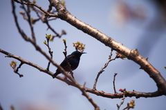 Purple sunbird on stem of an apricot tree with blossoms. Purple sunbird apricot tree  blossom blossoms male birding nectar beak feathers stem stock photography