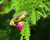 Purple sunbird (Cinnyris asiaticus). Purple Sunbird feeding on a red flower, with green leaves. Picture taken near Delhi in India in October Royalty Free Stock Photos
