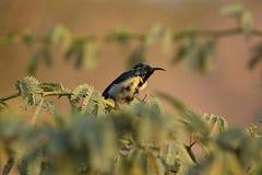 Purple sunbird, Cinnyris asiaticus, Ranthambore national park, Rajasthan, India. Purple sunbird, Cinnyris asiaticus, Ranthambore national park in Rajasthan royalty free stock photography