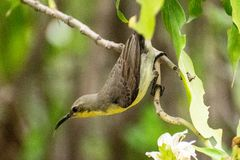 Purple Sunbird Female stock photo