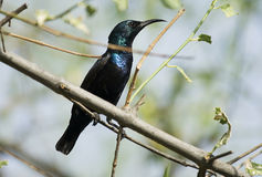 Purple Sunbird Male Royalty Free Stock Photo