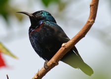 Purple Sunbird Nectarinia asiatica Stock Photos