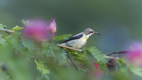 Purple sunbird in red powder puff tree flowers Royalty Free Stock Images