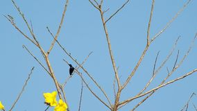 Purple Sunbird resting and fly away stock footage
