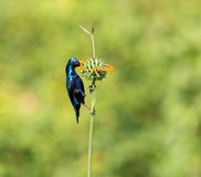 Purple Sunbird Royalty Free Stock Images