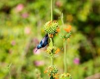Purple Sunbird Royalty Free Stock Image