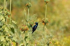 Purple Sunbird Royalty Free Stock Photography