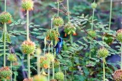 Purple Sunbird Royalty Free Stock Photo