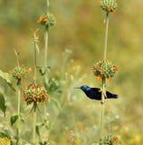 Purple Sunbird Stock Images