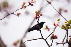 Purple sunbird on stem of an apricot tree with blossoms. Purple sunbird apricot tree  blossom blossoms male birding nectar beak feathers stem royalty free stock image