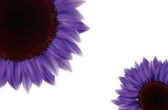 Purple Sunflower. Two bright sunflowers paper card Royalty Free Stock Photography