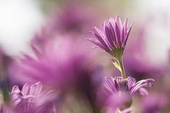 Purple Sunflowers, Dimorphotheca Royalty Free Stock Image