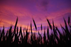 Purple sunset in the field royalty free stock photography