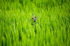 Purple swamp flower. Shallow depth of field shot of a purple swamp flower in a fresh green grass stock photos