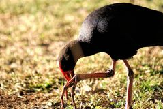 Purple Swamp Hen Royalty Free Stock Images