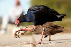 Purple Swamp Hen (Australia) Stock Photography