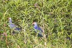 Purple swamp hen Royalty Free Stock Image