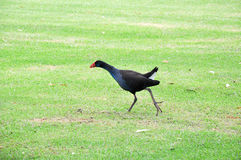 Purple Swamp Hen. Walking on green grass ground in wetland area of Western Australia with red facial patch and beak, blue and black plumage with a white erect stock photos