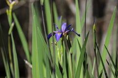 Purple Swamp Iris, Okefenokee Swamp National Wildlife Refuge Royalty Free Stock Image