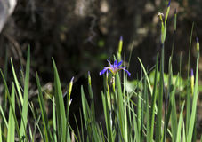 Purple Swamp Iris, Okefenokee Swamp National Wildlife Refuge Stock Photo