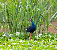 Purple Swamphen Stock Images