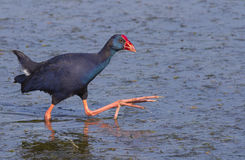Purple Swamphen Stock Image