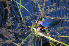 The Purple Swamphen Royalty Free Stock Photo
